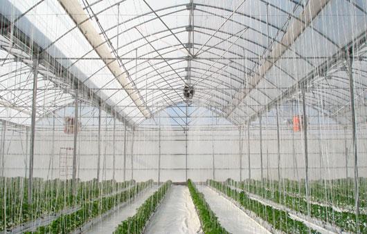 Invernadero P-9'60 Gótico con cultivo de pimiento