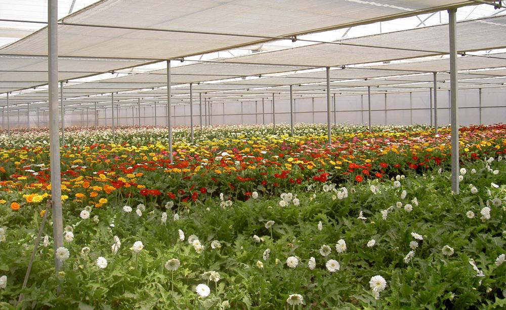 Invernaderos para el cultivo de Gerberas