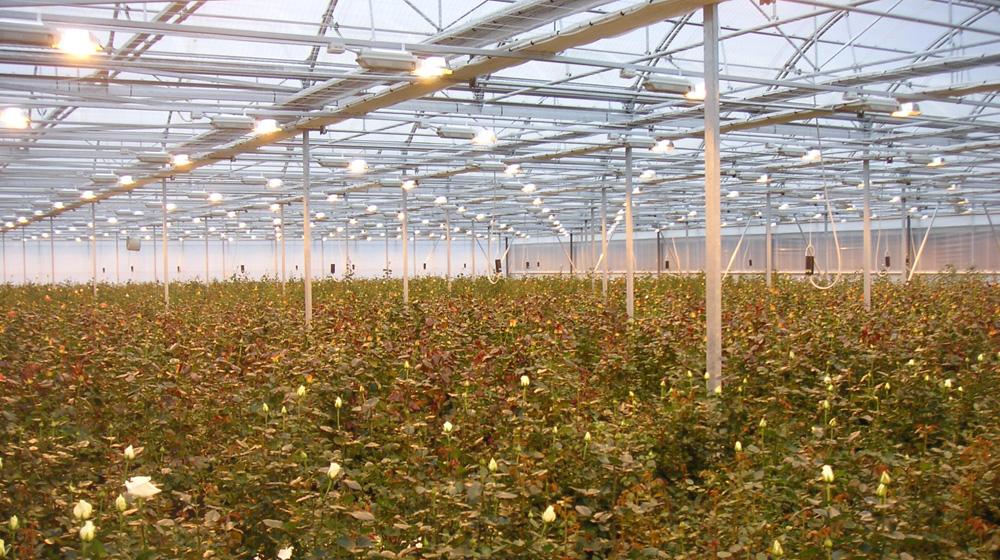 Fotoperiodo en cultivo de rosas