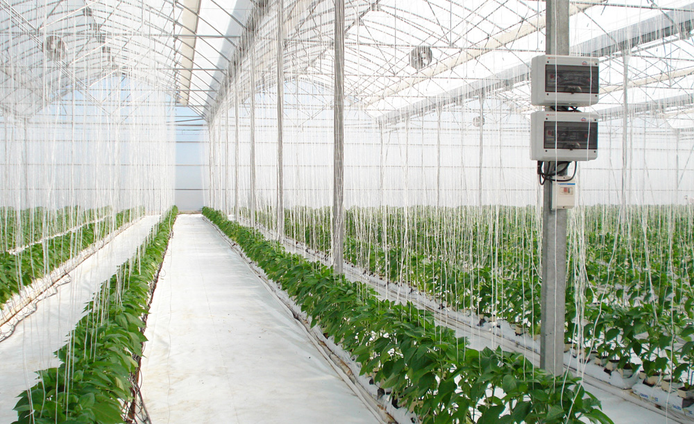 Greenhouse with pepper crop and hydroponic system fertigation